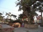 Kaliya ghat, tree 11.jpg