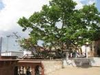 Kaliya ghat, tree 12.jpg