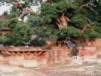 Kaliya ghat, tree 14.jpg
