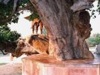 Kaliya ghat, tree 15.jpg