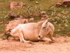 Cow Closeup.jpg