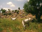 Cows 5.JPG
