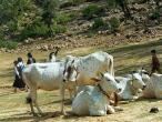 Holi-cows-close.jpg