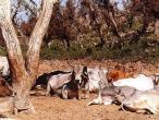 Jatipur Cows 2.JPG
