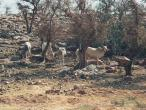 Kadambavana cows on hill dry 1.jpg