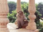 Kusum monkey sona papri 2.jpg