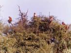 Monkeys on top of hill in tree.jpg