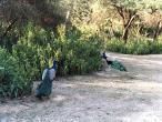 Rasa-Jatipur Peacocks.JPG
