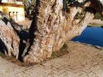 Rudrakunda Tree.JPG