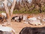 Kadamba-to-Jatipur-cows-2.jpg
