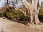 Rasa-Sthali-tree.jpg