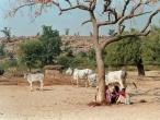 Govinda Kunda Approach cows.jpg