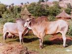 Govinda-Kunda-bulls.jpg