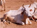 Govinda-Kunda-cow.jpg