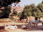 Govinda Kunda cows 4.jpg