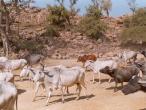 Govinda Kunda cows.jpg