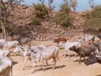 Govinda-Kunda-cows.jpg