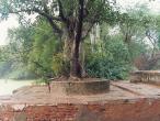 Asesa-tree.jpg