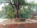 Asesa tree.jpg