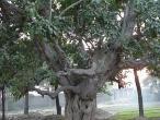 13-Kadamba tree 3.jpg