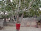 17-Pippali tree.jpg