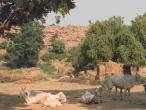 Govinda Kunda cows dozing.jpg