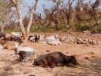 Kadamba to Jatipur cows 1.jpg
