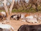 Kadamba to Jatipur cows 2.jpg