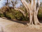 Rasa Sthali tree.jpg