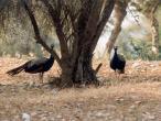 Vilas peacocks 1.jpg