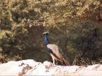 Vilas peacocks 2.jpg