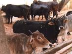Cows Goshalla 2.jpg