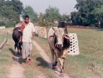 Goshala bull.jpg