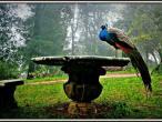 Villa Vrindavana - peacock.jpg